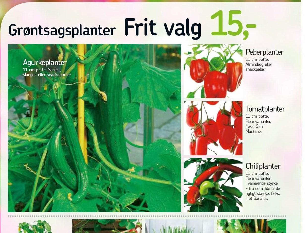 Grøntsagsplanter