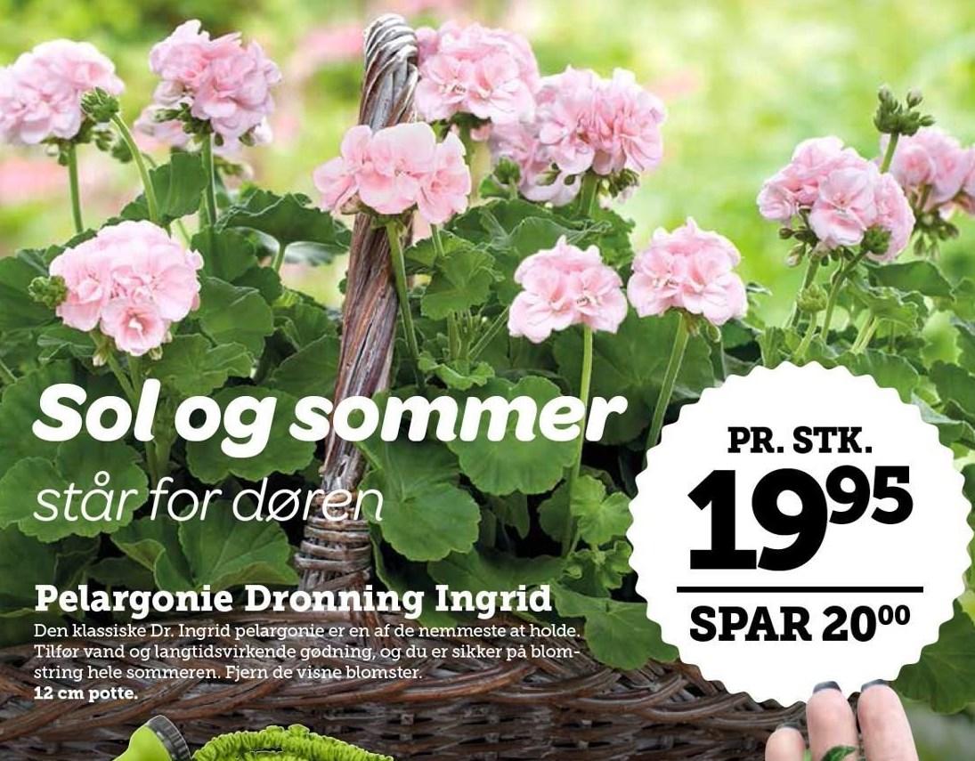 Pelargonie Dronning Ingrid