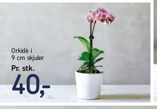 Orkidé i 9 cm skjuler